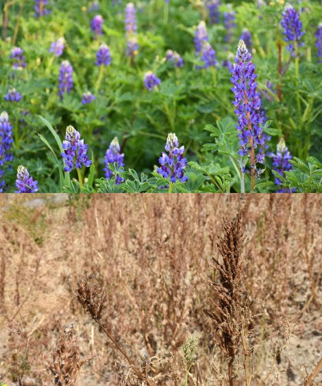Lupine Montage