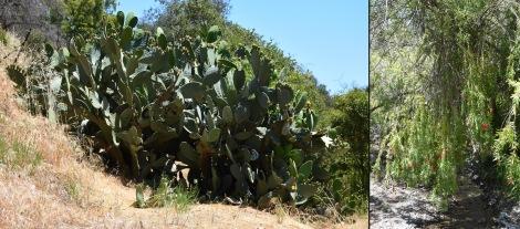 Cactus and Bottlebrush Tree