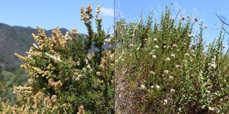 Chamise (Adenostoma fasciculatum) Buckwheat (Artemisia californica)