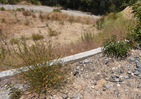 Deerweed (Acmispon glaber) and laurel sumac (Malosma laurina) reclaiming roadside