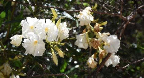 Oleander flowers (Nerium oleander)