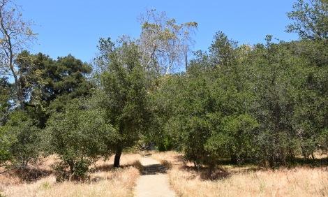 Coast Live Oak (Quercus agrifolia) reclaiming an abandon field