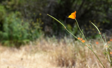 Late blooming California Poppy (Eschscholzia californica) along the trail