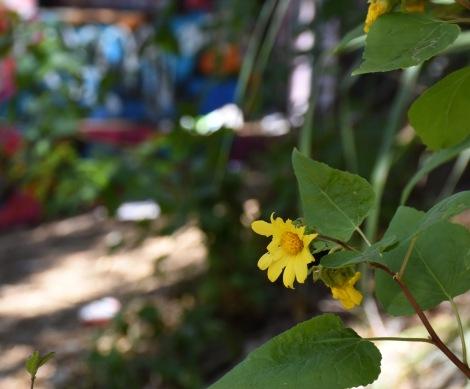 Canyon Sunflower (Venegasia carpesioides) and graffiti - Murphy Ranch
