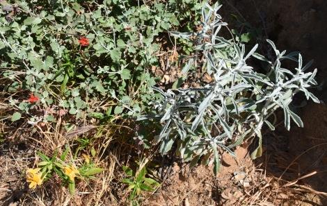 Coastal Buckwheat, Cardinal Catchfly, Sticky Monkeyflower, White Sage