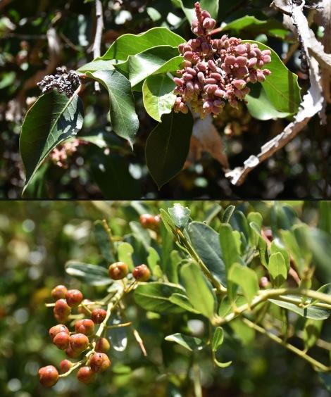 Sugar Bush (Rhus ovata) Big Pod Ceanothus (Ceanothus megacarpus) berries