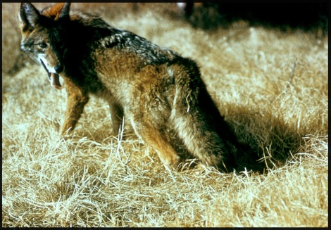 Canis_latrans_in_hay (mod)