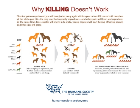 coyote-killing-infographic