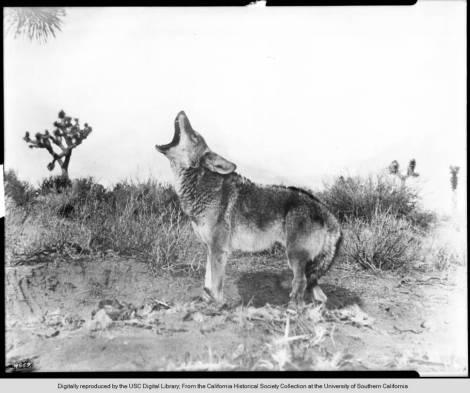 Howling_mountain_coyote_in_desert_terrain_ca1900