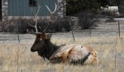 Elk (Cervus canadensis) resting in a meadow in Estes Park, Colorado