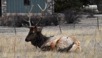 Elk (Cervus canadensis) resting in a meadow in Estes Park, Colorado