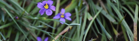 It's blue-purple flowers reveal blue-eyed grass to actually be of the iris family and not a grass.