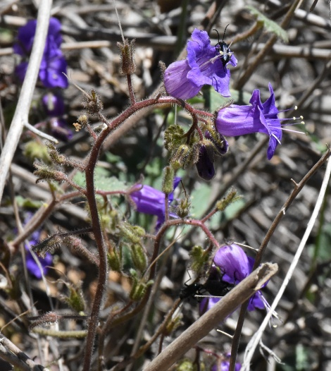 California bluebells (Phacelia minor) with long-horned beetles