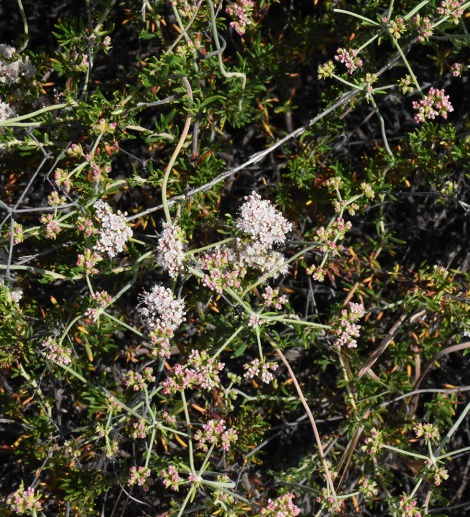 California Buckwheat flowers and buds