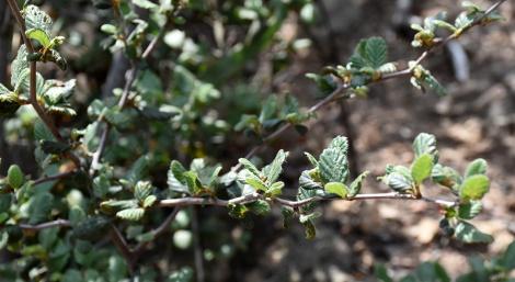 Birch Leaf Mountain Mahogany