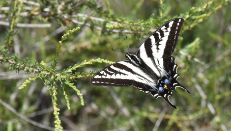 Pale tiger swallowtail butterfly