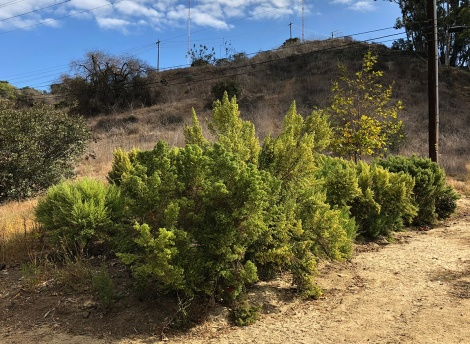 Coyote Brush in Kenneth Hahn Park