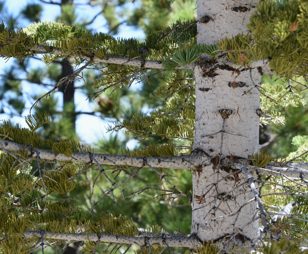 Trunk of a white silver fir.