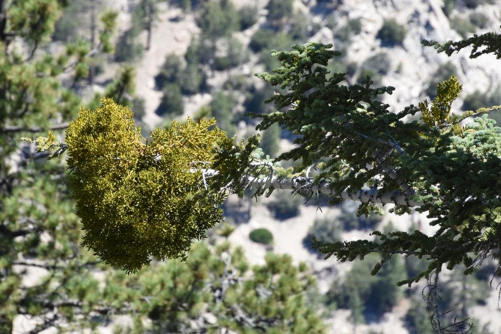 Bollean mistletoe on the branch of a white silver fir.