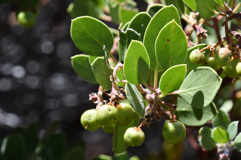 Leaves and ripening berries of a Parry manzanita.