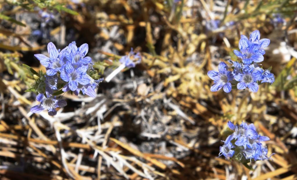 Giant woollystar flowers on slope of Winston Peak.