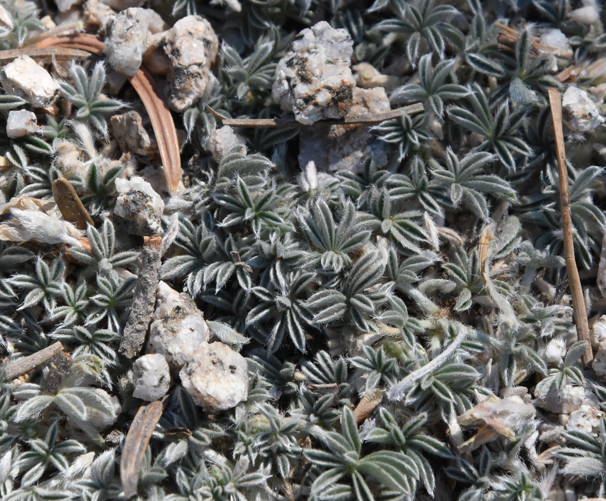 Brewer's Lupine leaves forming a tight mat in the gravelly soil.