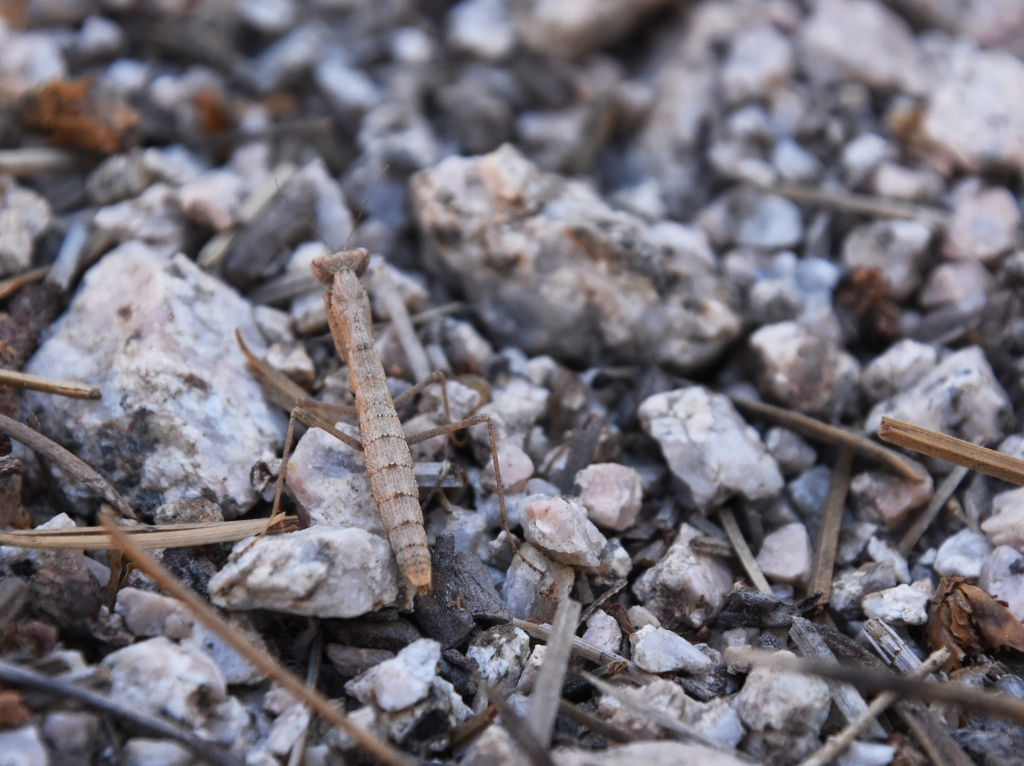 Ground mantis camouflage among pebbles and pine needles.