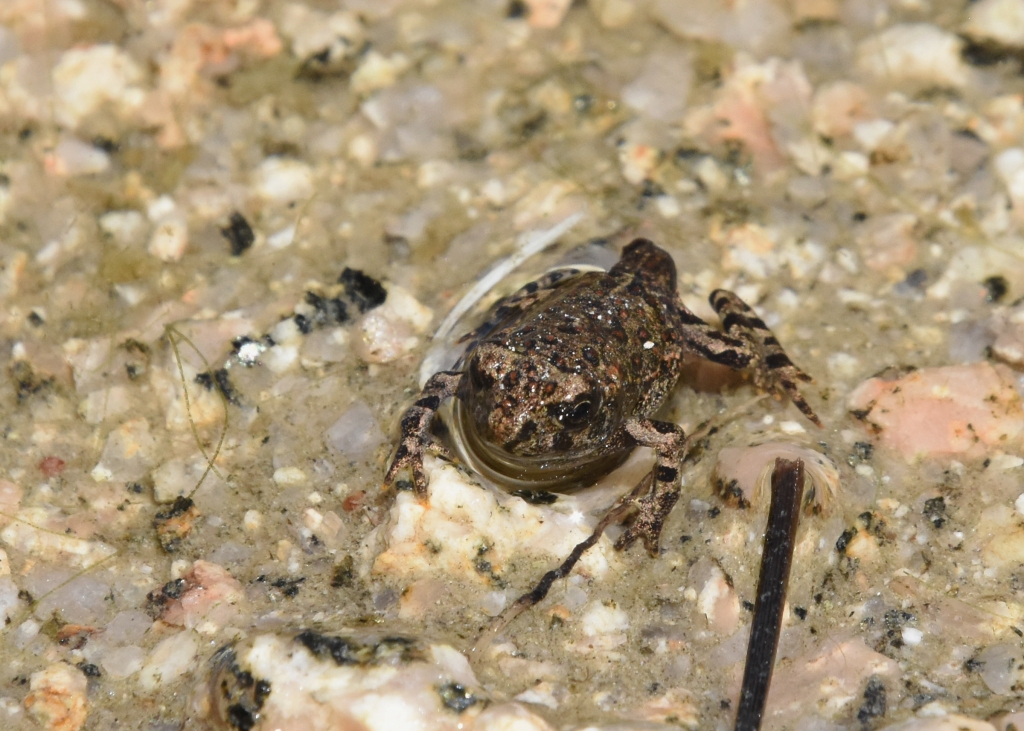 Possibly a young Western toad getting ready to leave the water.