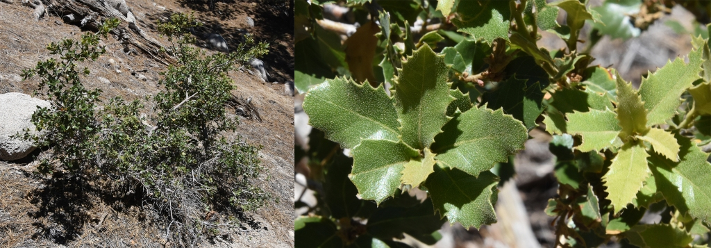 On the trail to Waterman Mountain, a scrub oak - most likely inland scrub oak.